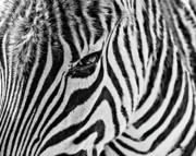 Zebra Print by Scott Pellegrin