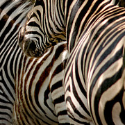 Plains Metal Prints - Zebra Stripes Metal Print by Joseph G Holland