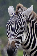 Zebra Print by Thomas Marchessault