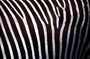 Backgrounds Metal Prints - Zebras Hide Metal Print by John Foxx