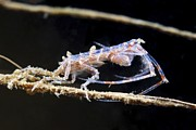 Crustacean Art - Amphipod Crustacean by Alexander Semenov