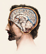 N.h. Prints - Brain Anatomy Print by Mehau Kulyk