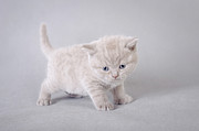 Pussycat Prints - British shorthair kitten Print by Waldek Dabrowski
