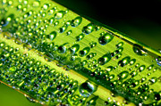 Dew Prints - Dewdrops on Lemongrass Print by Thomas R Fletcher