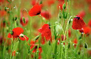 Dew Prints - Field of poppies. Print by Bernard Jaubert