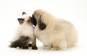 Pekingese Framed Prints - Kitten And Puppy Framed Print by Jane Burton