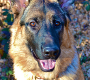 Puppies Originals - 10-Month-Old Shepherd 2 by Bill Owen