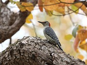 Indiana Autumn Prints - Red-bellied Woodpecker Print by Jack R Brock