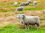 Pastureland Posters - Sheeps Poster by MotHaiBaPhoto Prints