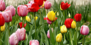 College Avenue Photos - Tulip Garden University of Pittsburgh  by Thomas R Fletcher
