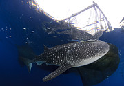 Platform. Level Posters - Whale Shark Feeding Under Fishing Poster by Steve Jones