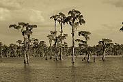 Sean Cupp - 1000 Cypress Trees