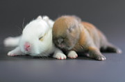 Animals Sleeping Posters - 11 Day Old Bunnies Poster by Copyright Crezalyn Nerona Uratsuji