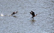 Indiana Rivers Photo Metal Prints - Double-crested Cormorant Metal Print by Jack R Brock