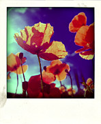 Auvergne Framed Prints - Field of poppies Framed Print by Bernard Jaubert