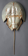 Living Fossils Ceramics - Horseshoe Crab by Mark Rea