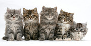 Mark Taylor - Maine Coon Kittens