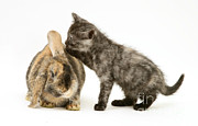 Tortoiseshell Prints - Rabbit And Kitten Print by Jane Burton