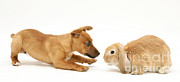 Jack Russell Terrier Posters - Rabbit And Pup Poster by Jane Burton