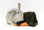 Black Lab Photos - Rabbit And Puppy by Jane Burton