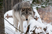 Wolves Photos - Timber Wolf by Michael Cummings