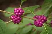 Ozark Mountains Photos - 1109-6879 American Beautyberry or French Mulberry by Randy Forrester