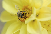 Close Focus Nature Scene Prints - Bee Print by Igor Sinitsyn