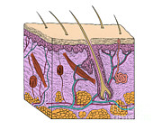 Sweat Prints - Illustration Of Skin Section Print by Science Source