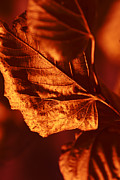 Fallen Leaf Photo Originals - Leaf by Igor Sinitsyn