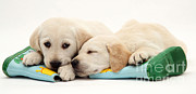 Sleeping Baby Animal Posters - Puppies Poster by Jane Burton