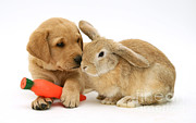 Yellow Labrador Retriever Prints - Rabbit And Puppy Print by Jane Burton