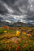 Colorado National Parks Prints - 12000 Foot Flower Print by Peter Tellone