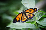 1205-8934 Monarch In Spring Print by Randy Forrester