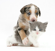 Border Collie Photos - Border Collie And Kitten by Jane Burton