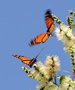 Butterflies Print by Marc Bittan