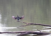 Indiana Rivers Prints - Double-crested Cormorant Print by Jack R Brock