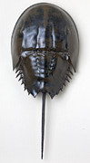 Crab Ceramics - Horseshoe Crab by Mark Rea