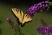 Butterfly Photos - Tiger Swallowtail by Road  Mosey