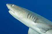 Sharks Photo Posters - Whitetip Reef Shark, Kimbe Bay, Papua Poster by Steve Jones