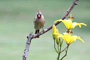 Indiana Flowers Prints - Northern Cardinal Print by Jack R Brock