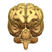 Left Hemisphere Posters - Brain Anatomy Poster by Friedrich Saurer