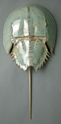 Marine Ceramics - Horseshoe Crab by Mark Rea