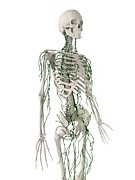 Frontal Bones Posters - Lymphatic System, Artwork Poster by Sciepro