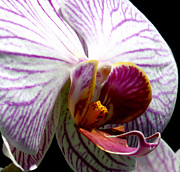 Closeup Framed Prints - Orchid Flower Bloom Framed Print by C Ribet