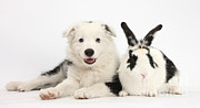 Collie Framed Prints - Puppy And Rabbit Framed Print by Mark Taylor