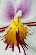 Exotic Framed Prints - Exotic Orchid Flowers of C Ribet Framed Print by C Ribet