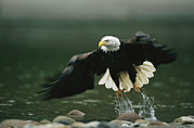 Animal Behavior Art - An American Bald Eagle In Flight by Klaus Nigge