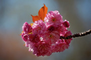 Cherry Art Prints - Cherry Blossoms Print by Robert Ullmann
