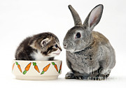 Tabby Cat Photos - Kitten And Rabbit by Jane Burton