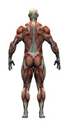 Body Builder Framed Prints - Male Musculature Framed Print by Friedrich Saurer